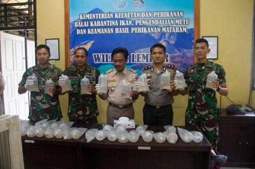 TNI AL Gagalkan Penyeludupan Puluhan Ribu Baby Lobster