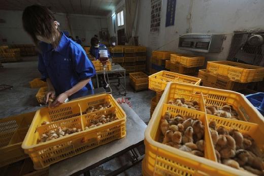 Pemerintah Antisipasi Flu Burung H10N3