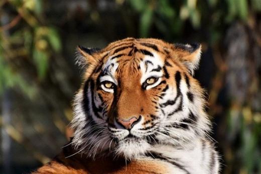 Petugas Kebun Binatang Tewas Diserang Harimau