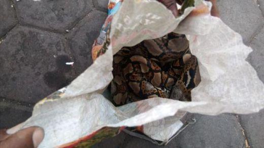Aksi Provokasi, Asrama Papua di Surabaya Dilempari Karung Berisi Ular Piton