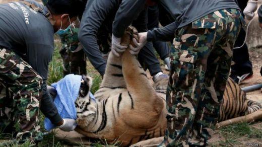 Pencari Daun Nipa Tewas Diterkam Harimau saat Mau Beli Rokok