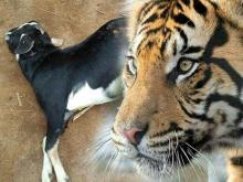 Tiga Ekor Harimau Berkeliaran di Agam, Dua Ekor Kambing jadi Mangsa