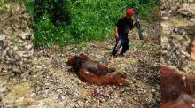 Orangutan Dibunuh dan Dibagikan Dagingnya untuk Dimasak di Areal Perusahaan