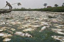 Ikan Mati Misterius, Petambak di Danau Maninjau Merugi Capai Rp39,3 Miliar