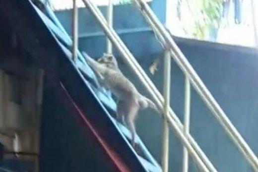 Geger Monyet Berkeliaran di Atap Pemukiman Warga