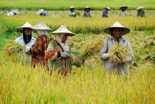 Minim Regenerasi, 2063 Indonesia Terancam Tak Ada Lagi Petani