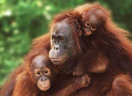 75 Persen Orangutan di Kalimantan Timur Berada di Luar Kawasan Konservasi, Pengelolaan Habitat Harus Menjadi Prioritas
