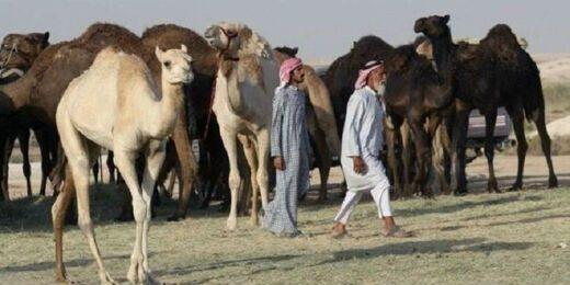 Pasca Putus Hubungan Diplomatik, Arab Saudi Usir Onta dan Domba Milik Warga Qatar