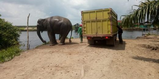 12 Gajah Ngamuk Rusak Rumah dan Kebun Milik Warga di Aceh