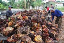 Nasib Kelapa Sawit Indonesia, Sumbang Devisa Ekspor Besar tapi Diserang Isu Negatif